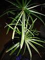 Cyperus.alternifolius.variegatus.jpg