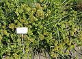 Cyperus glaber - Bergianska trädgården - Stockholm, Sweden - DSC00550.JPG