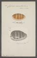 Cypraea carneola - - Print - Iconographia Zoologica - Special Collections University of Amsterdam - UBAINV0274 088 02 0042.tif