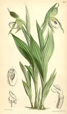 Cypripedium candidum.jpg