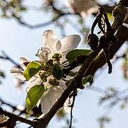 Dülmen, Hausdülmen, Blüten der Dülmener Rose -- 2020 -- 6575.jpg