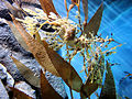 DSC28182, Leafy Sea Dragon, Monterey Bay Aquarium, Monterey, California, USA (8316405600).jpg