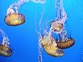 """DSC36014, Sea Nettle (""""Chrysaora Fuscescens""""), Monterey Bay Aquarium, Monterey, California, USA (6655435689).jpg"""