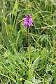 Dactylorhiza sp. (14608450743).jpg