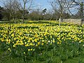 Daffodils at Wimpole Hall - panoramio.jpg