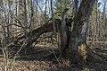 Daiķu īvju audzē, 13.04.2019. - 49366198922.jpg
