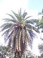 Date tree .jpg