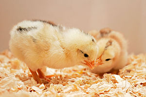 A pair of day old chicks.