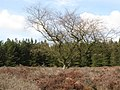 Deciduous tree in the clearing in the plantation on Denton Fell - geograph.org.uk - 760842.jpg