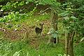Deer at Mount Edgcumbe (0796).jpg