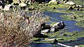 Deer walks across Owyhee River, eastern Oregon (22197216555).jpg