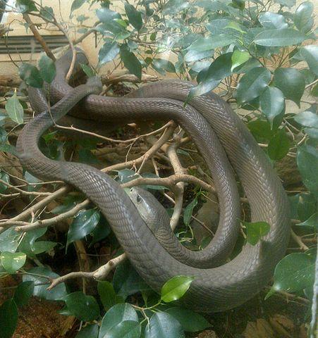 Serpent des Pyrénées dans SERPENT 451px-Dendroaspis_polylepis_01