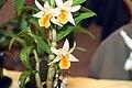 Dendrobium Frosty Dawn 9zz.jpg