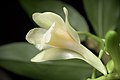 Dendrobium endertii (Kalimantan Indonesia) J.J.Sm., Bull. Jard. Bot. Buitenzorg, sér. 3, 11- 138 (1931) (35268618001).jpg
