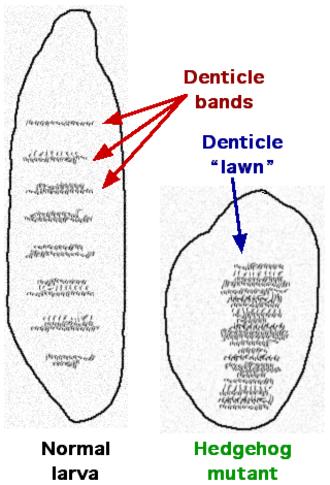 Hedgehog signaling pathway - Figure 1. Normal and Hedgehog mutant larvae.