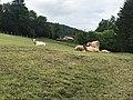 Des vaches entre La Rixouse et Villard-sur-Bienne.jpg