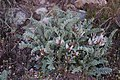 Deseret milkvetch (Astragalus desereticus) (31496943688).jpg