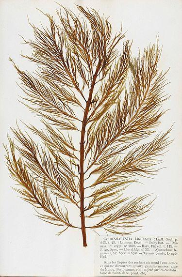 Desmarestia ligulata— вид бурых водорослей с трихоталлическим типом роста талломов