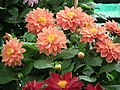 Dhalia from Lalbagh flower show Aug 2013 7921.JPG
