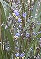 Dianella caerulea flowers.jpg