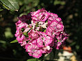 Dianthus barbatus, Cloppenburg (DE)P6244230.jpg