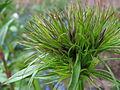 Dianthus barbatus 3.jpg