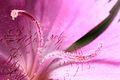 Dianthus cartusianorum (stigms).jpg