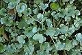 Dichondra 'Silver Falls' Closeup 3008px.jpg