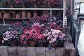 Dicksons Florist flower shop azaleas 04.jpg