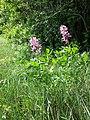 Dictamnus albus sl12.jpg