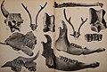 Die Pithecanthropus-Schichten auf Java. Geologische und paläontologische Ergebnisse der Trinil-Expedition (1907 und 1908), ausgeführt mit Unterstützung der Akademischen Jubiläumsstiftung der Stadt (20320758883).jpg