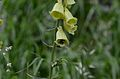 Digitalis grandiflora with Bombus.JPG