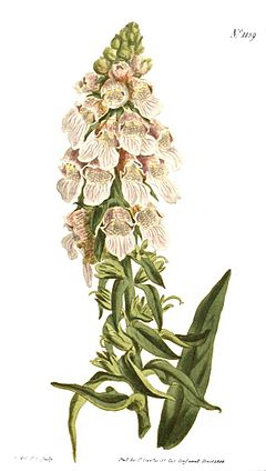 Digitalis lanata.jpg