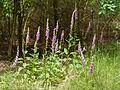 Digitalis purpurea - Purple Foxglove - Roter Fingerhut - Hesse - Germany - 28.jpg