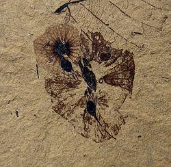 Dillhoffia cachensis SR 92-17-20 1.jpg