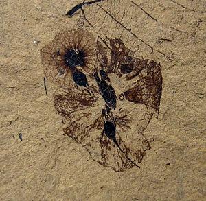 2008 in paleontology - Dillhoffia cachensis