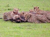 Een groep cheeta's die zich samen voeden met een prooi