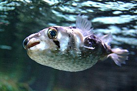 Porcupinefish (Diodon nicthemerus)Photo by Mikkel Elbech