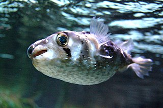 Porcupinefish family of fish (Diodontidae)