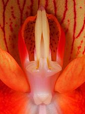 Disa uniflora column (19792867596).jpg
