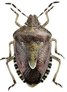 Dolycoris baccarum1.jpg