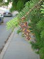 Douglas-fir cones (Sault) 1.JPG