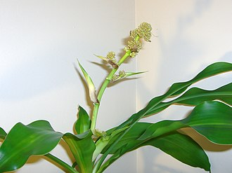 Dracaena fragrans - Inflorescence of Dracaena fragrans 'Massangeana'
