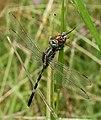 Dragon anthomyiid sal.jpg