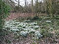 Drifts of snowdrops - geograph.org.uk - 1181104.jpg