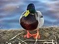 Duck, Enniskillen (3) - geograph.org.uk - 1748807.jpg