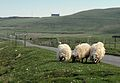 Duntulm Welcoming Committee - Duntulm, Isle of Skye, Scotland, UK - May 20, 1989.jpg