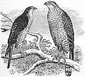 EB1911 Sparrow-Hawk.jpg