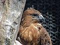 Eagle عقاب 18.jpg