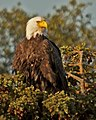 Eagle in sunlight, National Park Service, Alaska (6816185574).jpg